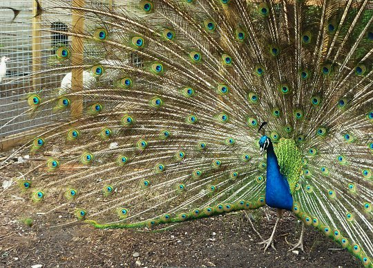 Peacock trying to impress everyone.