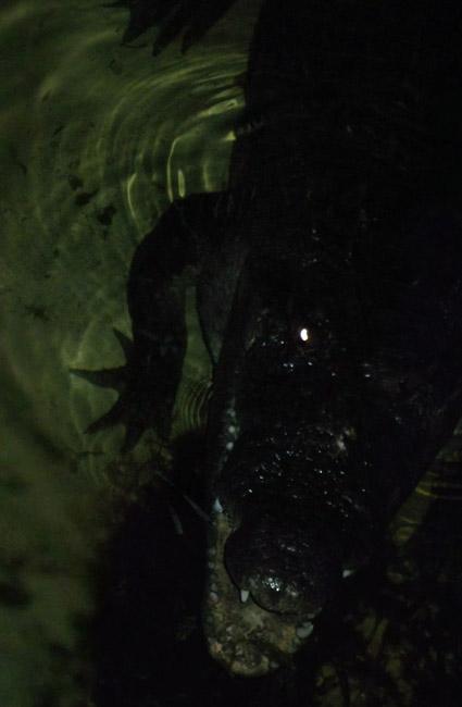 Crocodillo