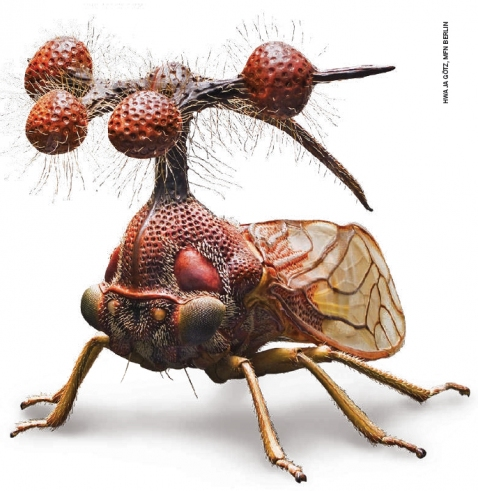 Treehopper Bocydium-Globulare by Alfred Keller