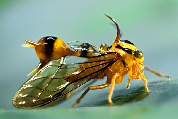 Treehopper - Heteronotus Maculatus