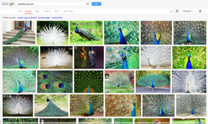 google search for beautiful peackock