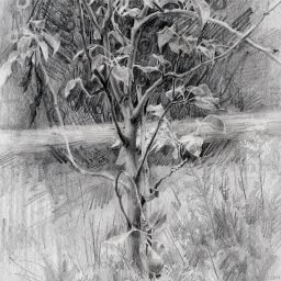 A Pear Tree Drawing from my Garden